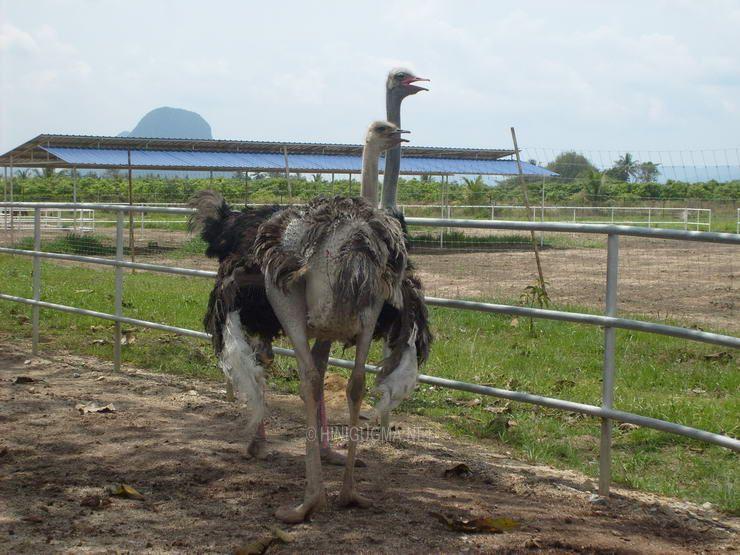 Ostrich Farm Malaysia The Malaysian Ostrich Farms we
